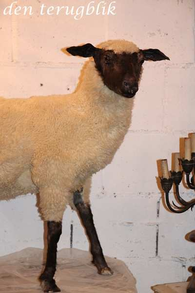 Groot opgezet schaap